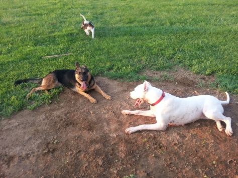 Bella at the dog park