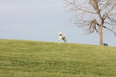 Bella running with pure joy!